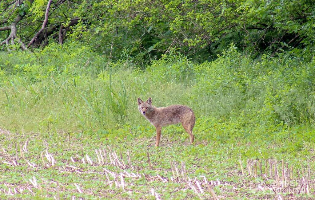 coyote on field